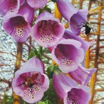 Pollinating the Foxglove
