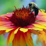 Honeybee and Gaillardia